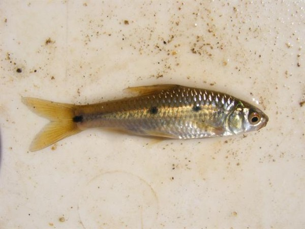 Barbus trimaculatus